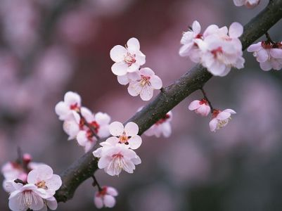Japanese_Cherry_Blossom_wallpapers