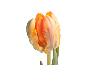 orange-parrot-tulip-1