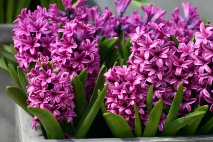 Pink-Hyacinths-pink-color