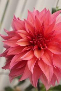 Enchanted Florist Coral Dahlia