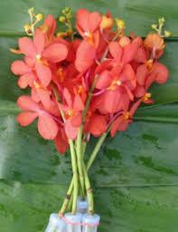 coral vanda orchids