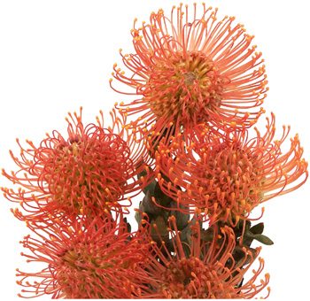 Protea-Pin-Cushion-flower